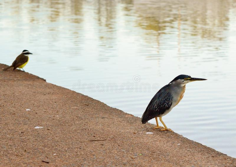 Birds Looking for Fish in a Lake royalty free stock photography