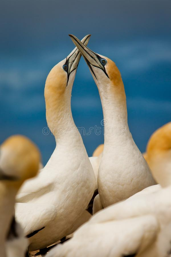 Gannet couple in love in birs colony by the ocean, New Zealand royalty free stock photo