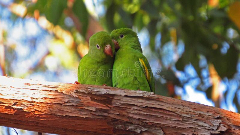 Birds in love. Parakeet in love stock photography