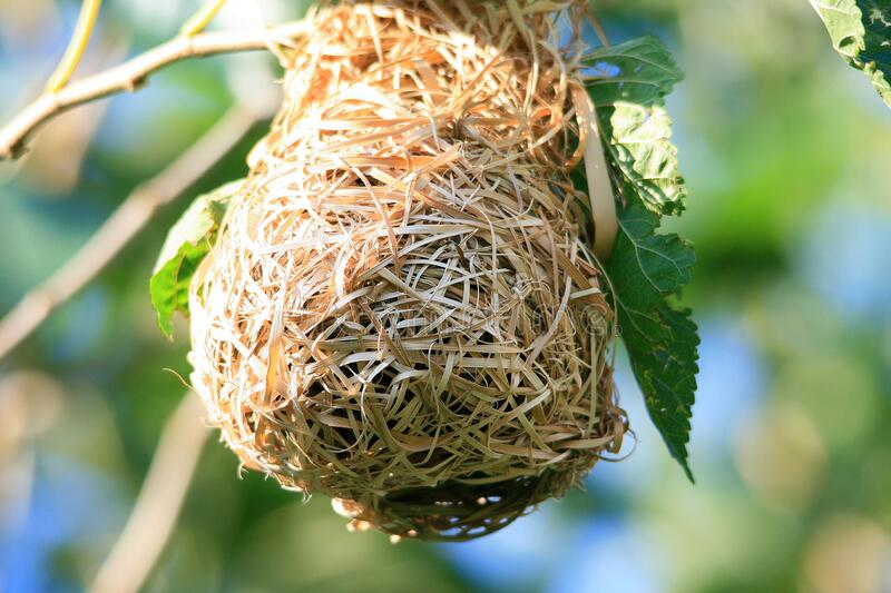 Birds nest hanging from a tree royalty free stock photography