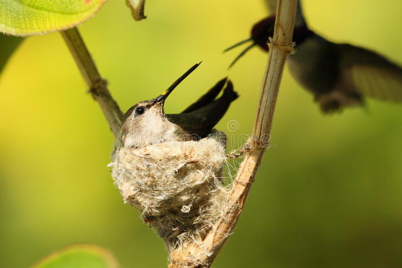 Hummingbirds nesting in tree. Closeup of a female nesting in a tree with green leaves. The male is flying in the background royalty free stock photos
