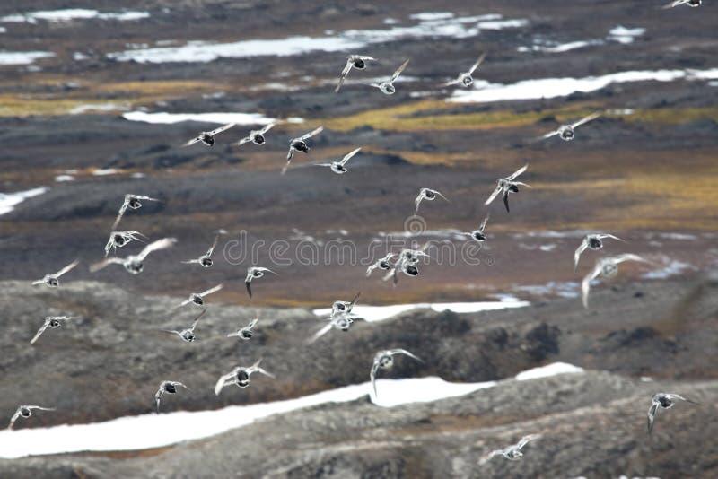 Birds over the tundra. Birds flying over the Arctic tundra stock photography