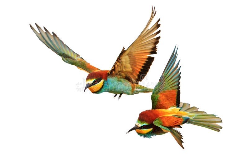 Birds of Paradise fighting in flight isolated on a white background. Bee-eaters ,Merops Apiaster royalty free stock images