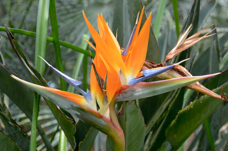 Birds of Paradise Flower. In bloom royalty free stock photos