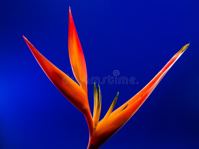 Birds of Paradise Flower in Macro Photography royalty free stock photo