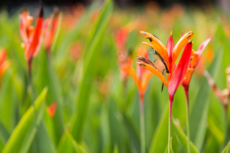Birds of Paradise flower and plant, thrives in tropical climate. Lush Birds of Paradise flower and plant, thrives in tropical climate stock photography