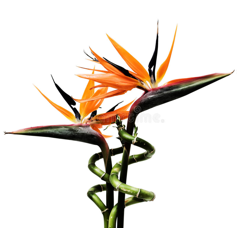 Birds Of Paradise Flowers Royalty Free Stock Photo