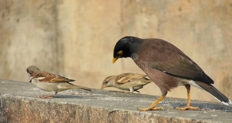 Birds pecking grains common myna and sparrow stock photo image of birds pecking grains common myna and sparrows sitting on a wall picking abstract natural background thecheapjerseys Gallery