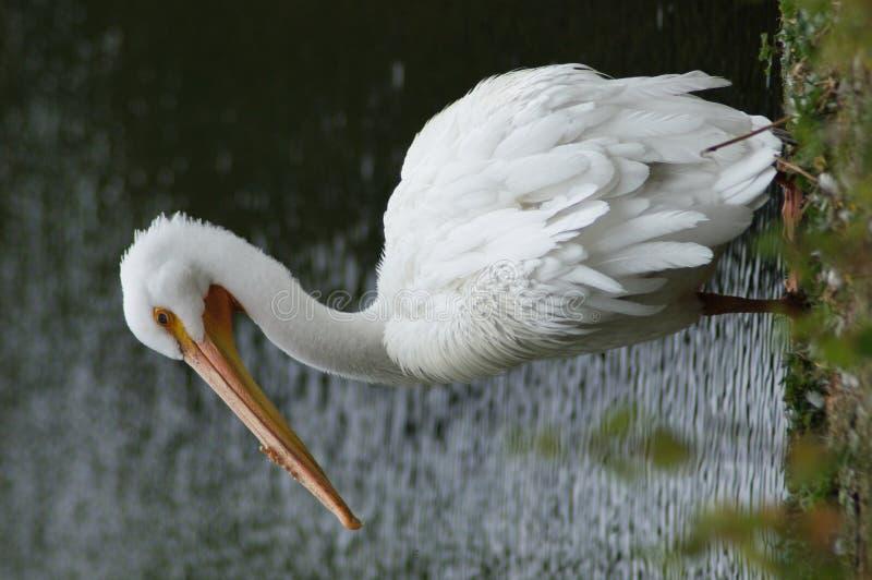 Download BIRDS - Pelican / Pelikan Stock Images - Image: 37870424