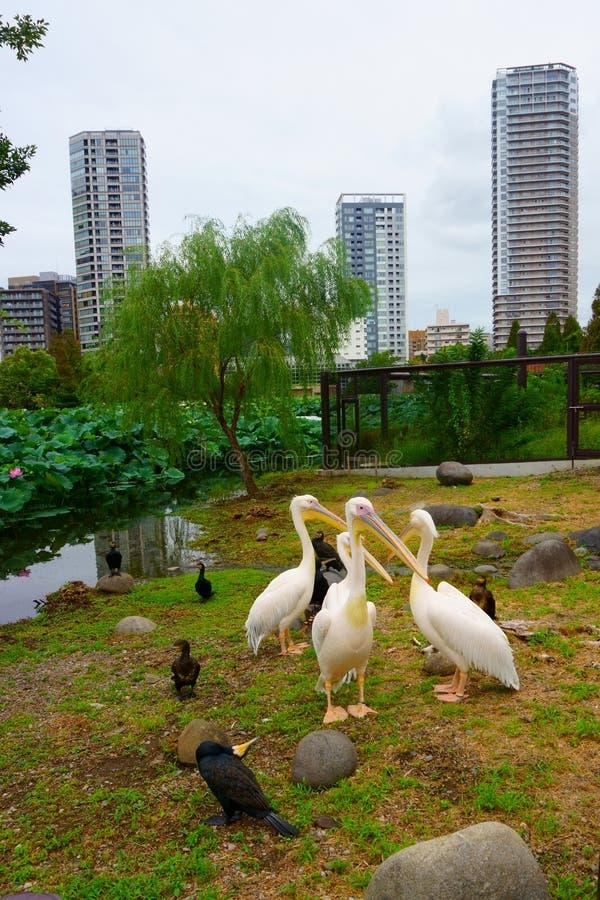 Birds pelicans ducks on shore of lotus pond stock photography