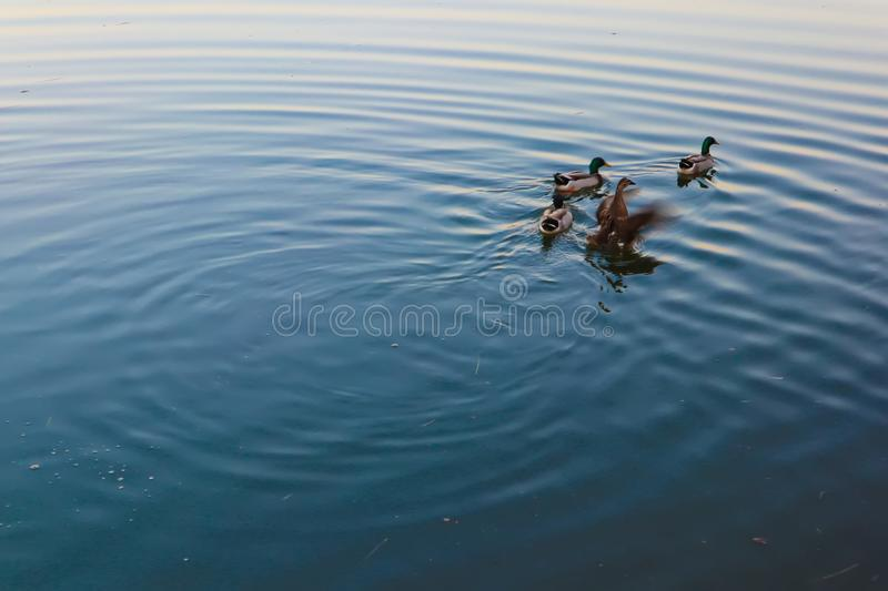 Birds playing in the water royalty free stock photography