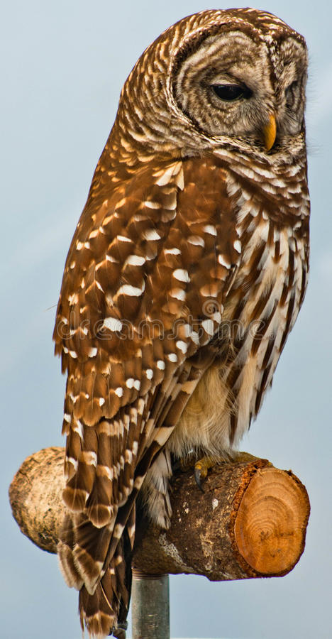 Birds of Prey 2. Hawks, Falcons, Owls, and Eagles are some of the endangered birds of prey which find themselves in rehabilitation centers after accidents or stock photography