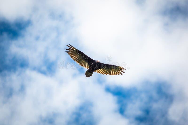 Birds of prey flying vulture blue sky stock photos