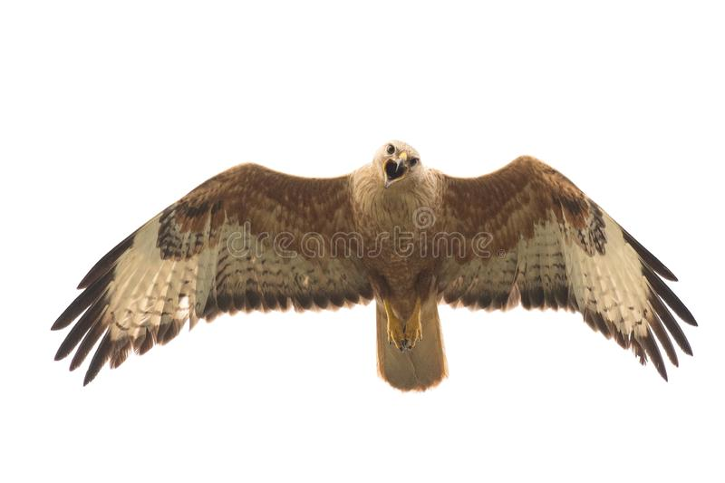 Birds of prey - Long legged buzzard, Buteo rufinus, in flight. Isolated on white royalty free stock photo