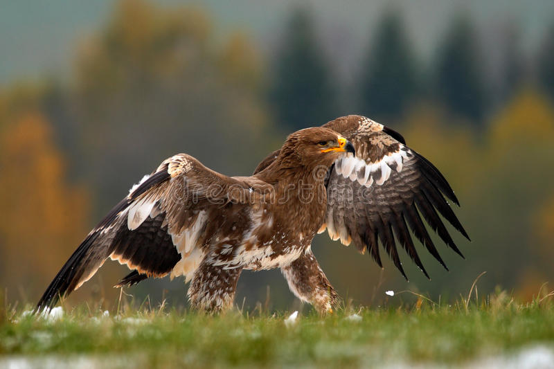 Birds of prey on the meadow with autumn forest in the background. Steppe Eagle, Aquila nipalensis, sitting in the grass on. Meadow, Sweden stock image