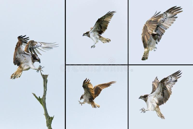 Birds of Prey - Osprey stock photography