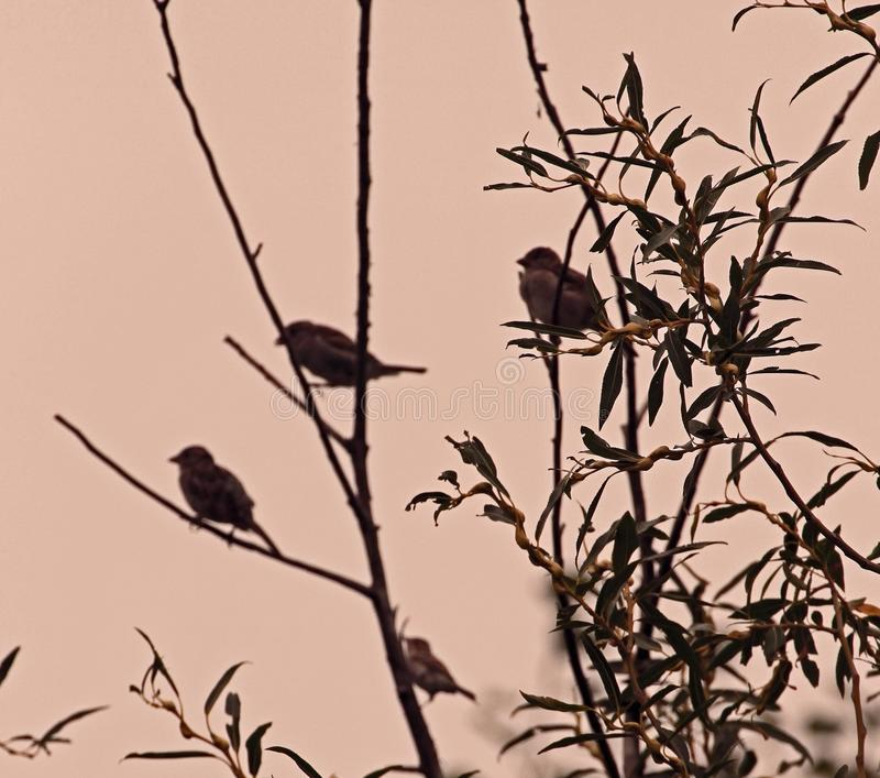 Birds on Pussy-willow Tree royalty free stock image