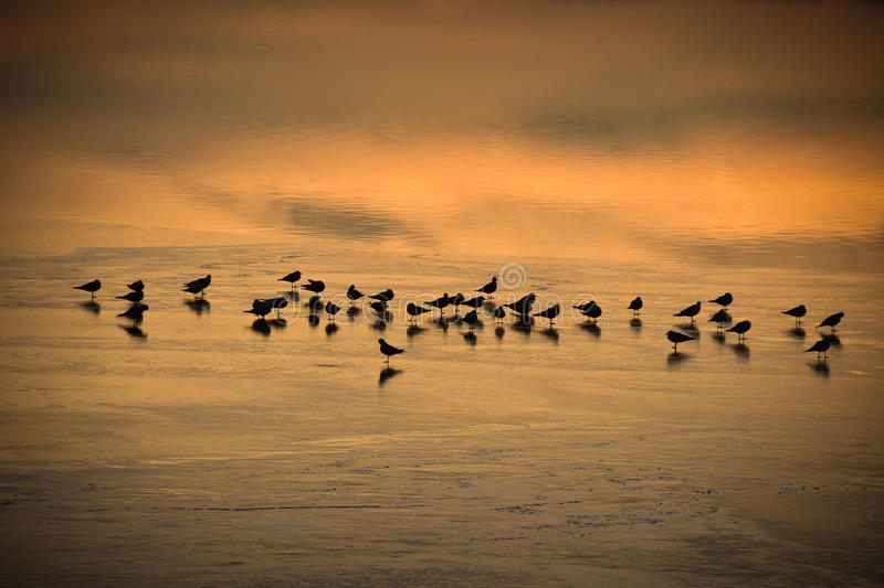 Birds resting in the frozen Lac de Joux in Switzerland at sunset. stock image