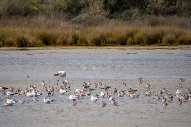 Birds in Ria Formosa. National park, Algarve, Porugal stock photography