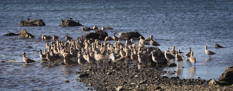 Birds sandbar Bodega Bay. Gathering of birds during low tide on sandbars in Bodega Bay California stock photos