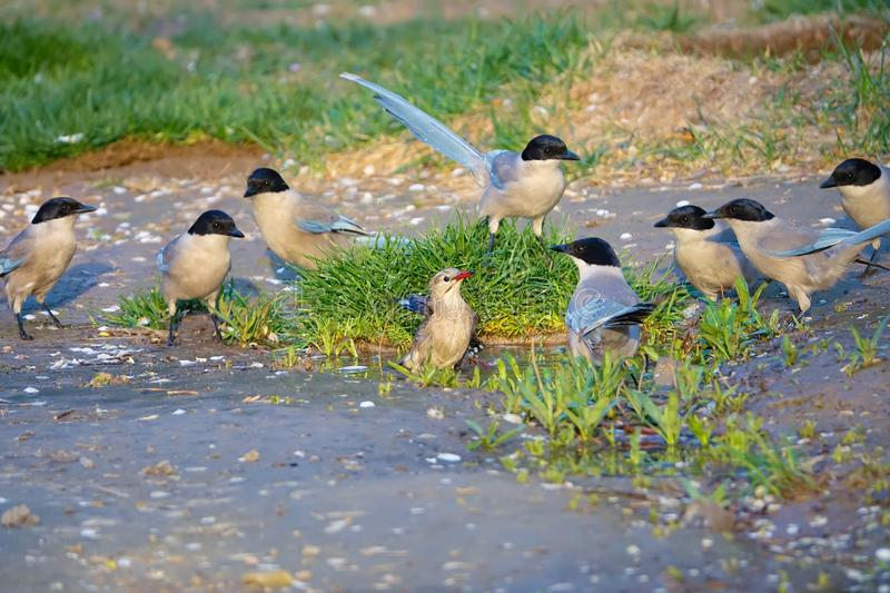 Birds scramble for the puddle royalty free stock photos