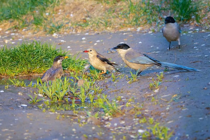Birds scramble for the puddle stock photography