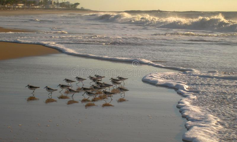 Ahead of the Surf on a Cavaleirous Dawn, RJ, Brazil. Birds scurry ahead of the incoming tide on a Cavaleirous Dawn, RJ, Brazil stock photography