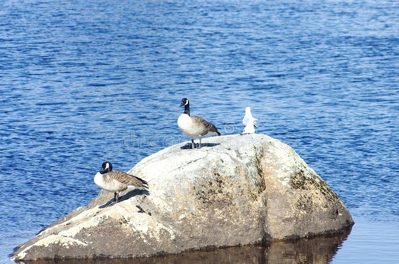 Birds and seagulls on a rock royalty free stock photography