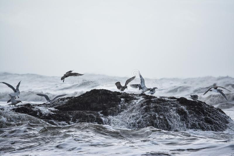 Birds seeking refuge at Ruby Beach. A flock of birds seeking a place to land as the Pacific Ocean waves continuously came crashing down. Located at Ruby Beach royalty free stock image