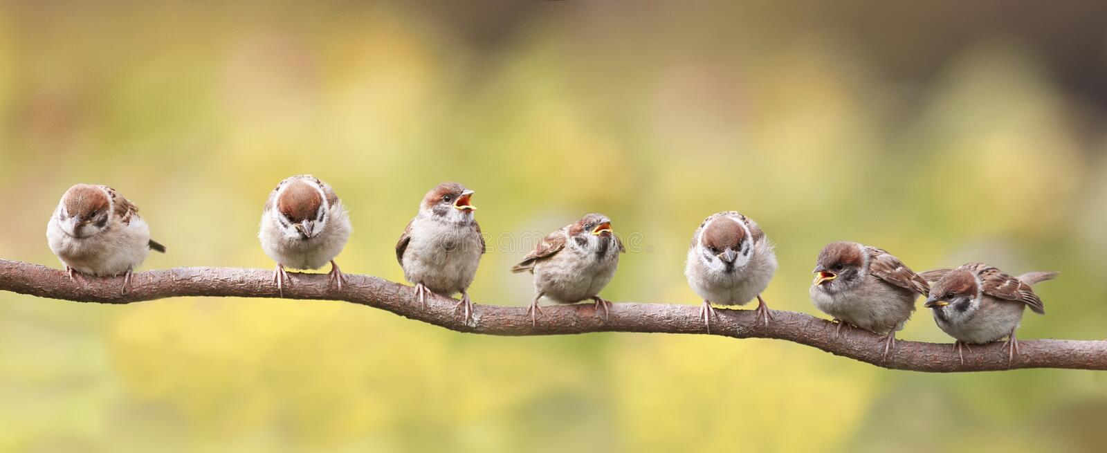 Birds sitting on a branch funny opened their beaks in anticipation of the parents. A little birds sitting on a branch funny opened their beaks in anticipation of royalty free stock image
