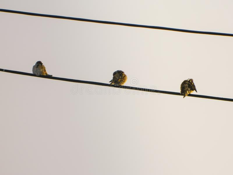 3 birds sitting on the cable royalty free stock photos