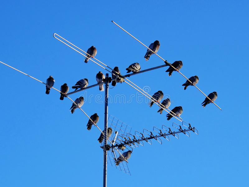 Birds sitting on a tv antenna stock images