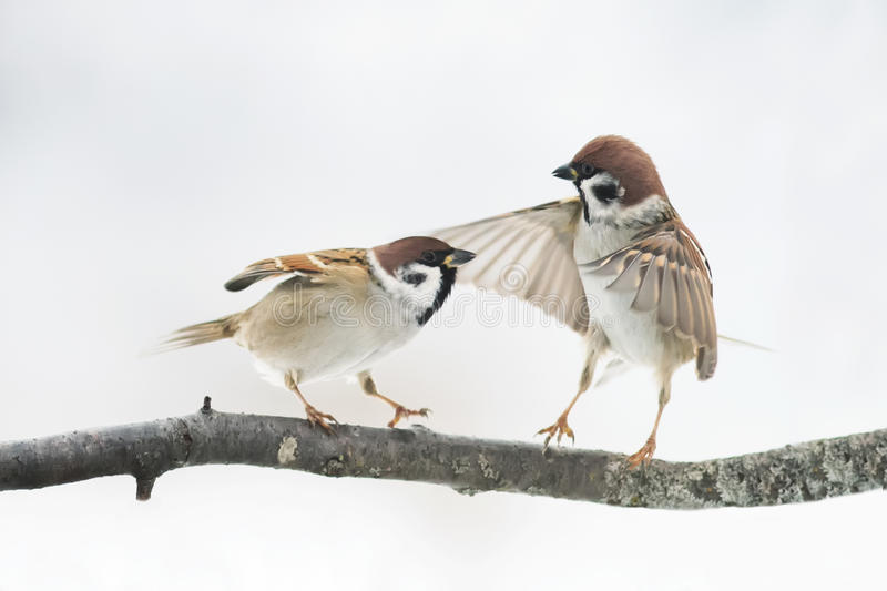 Birds Sparrow argue on the branch flapping the wings royalty free stock image