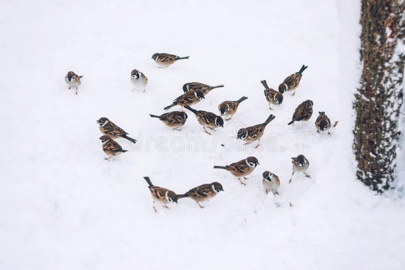 Birds eating seed from snow ground in the winter park. Wooden handmade bird feeder in winter snow cold day. Birds sparrows eating seed from snow ground in the royalty free stock photos