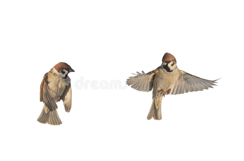 Birds sparrows flitting on a white isolated background stock images