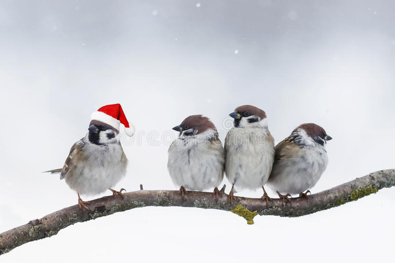 Birds sparrows sitting on a branch in winter Christmas hats. Funny birds sparrows sitting on a branch in winter Christmas hats stock images