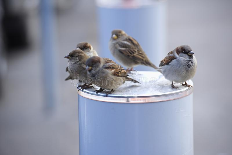 Birds sparrows winter defenseless hungry bird sparrow sit warm day royalty free stock images