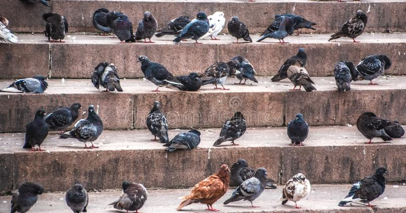 Birds on the steps of the city. Birds like notes. Pigeons. Feathered inhabitants of the city. Wild bird. Street photography stock image