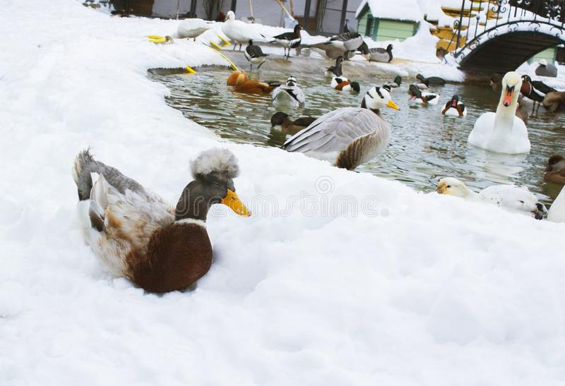 Ducks are different-gray, red, crested, striped, black.Birds swim in the pond Winter time around is snow, ice. royalty free stock images