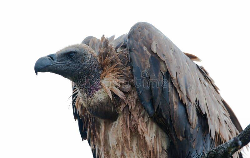 Birds of tanzania royalty free stock photo