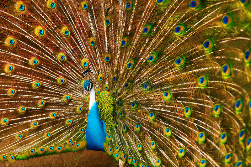 Birds Of Thailand. Peacock With Feathers Out. Animals. Travel, T. Birds Of Thailand. Closeup Of Beautiful Bright Colorful Peacock With Feathers Out. Animals Of royalty free stock photography