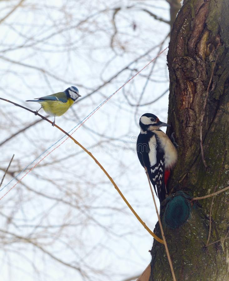 Birds tomtit and ouzel on the tree in winter forest stock image