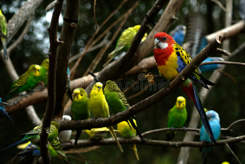 Birds in a Tree. Several specieis of colorful (tropical) birds hanging out in a tree. Primary focus on large red bird. Unknown species stock images