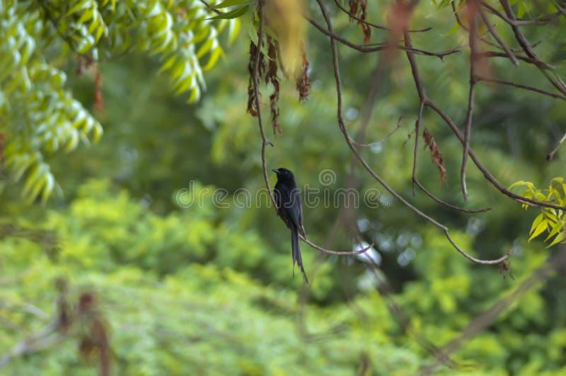 Birds on tree branch, black birds on trees branch. Black birds on tree branch,top view of birds,black birds, rook, blackbird, plumage, pigeon, tail, blue stock photography