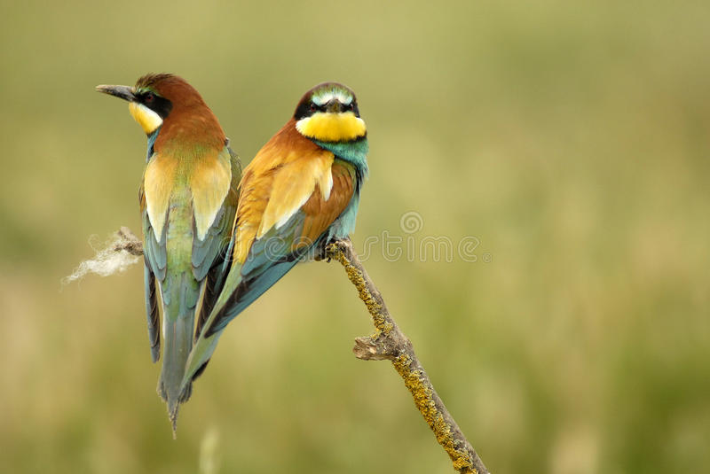 Birds on a twig tree royalty free stock image