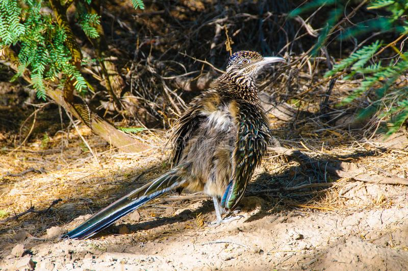 Birds USA Greater Roadrunner Geococcyx californianus in Texas fotografia stock libera da diritti