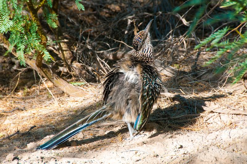 Birds USA Greater Roadrunner Geococcyx californianus in Texas fotografia stock