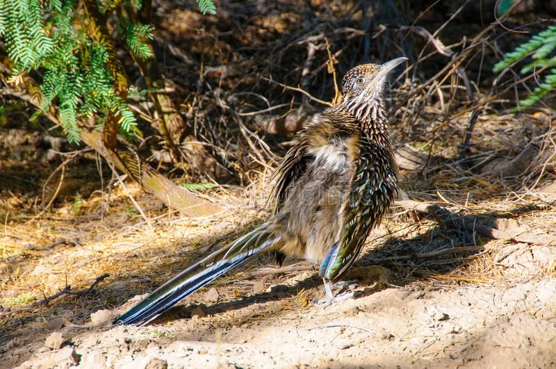 Birds USA Greater Roadrunner Geococcyx californianus in Texas immagini stock libere da diritti