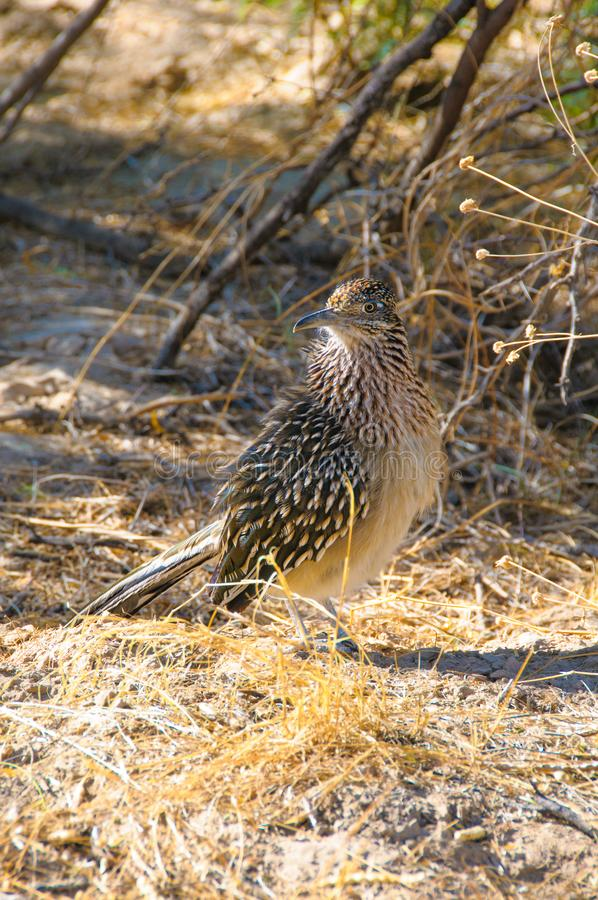 Birds USA Greater Roadrunner Geococcyx californianus in Texas immagini stock