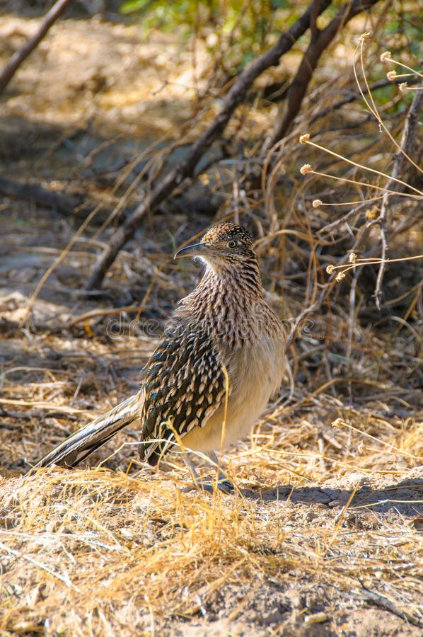 Birds USA Greater Roadrunner Geococcyx californianus in Texas immagine stock